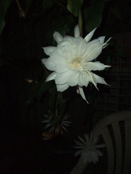 Hình ảnh hoa quỳnh đẹp trong đêm