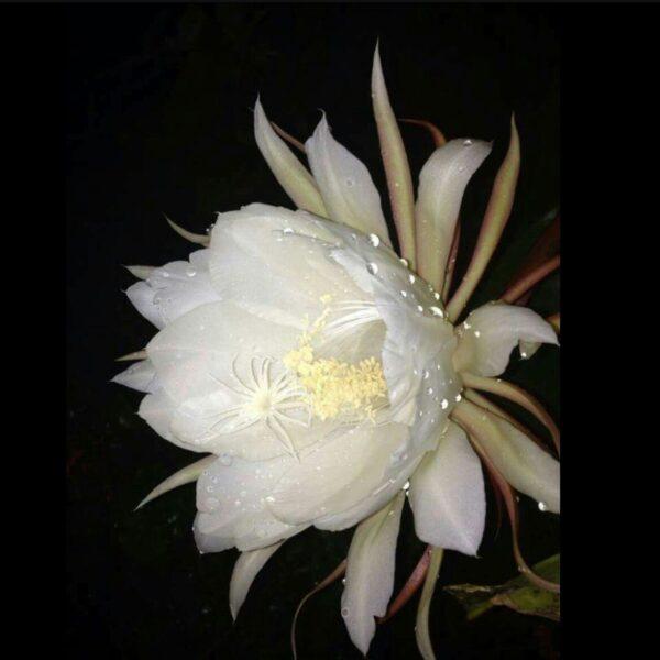 Hình ảnh hoa quỳnh nở cực đẹp