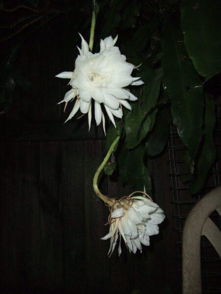 Hình ảnh hoa quỳnh nở đệp bên cửa