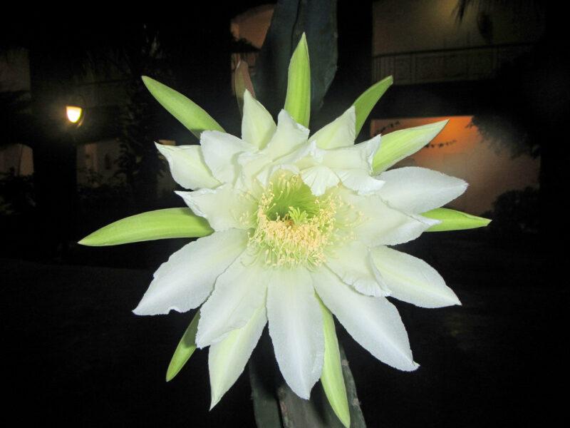 Hình ảnh hoa quỳnh nở về đêm đẹp
