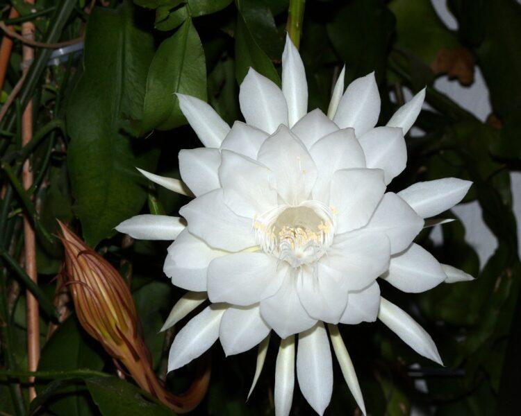 Hình ảnh hoa quỳnh trắng