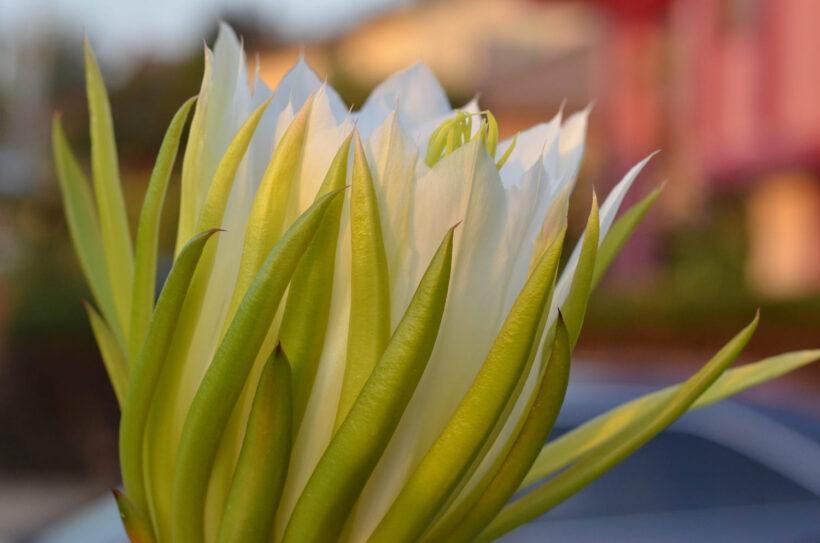 Hình ảnh hoa thanh long đang nở đẹp