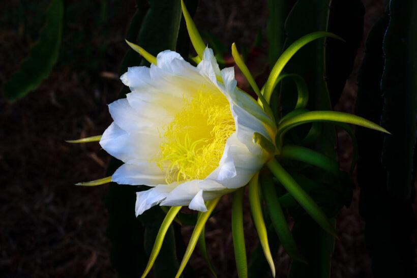 Hình ảnh hoa thanh long đang trổ bông
