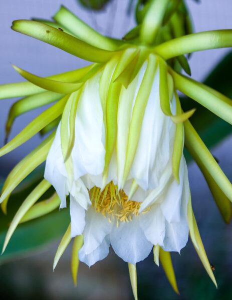 Hình ảnh hoa thanh long đẹp