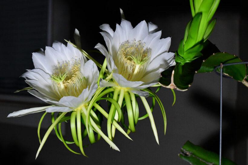 Hình ảnh hoa thanh long đẹp cuốn hút
