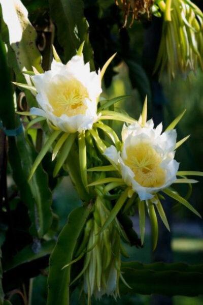 Hình ảnh hoa thanh long đẹp dưới ánh nắng