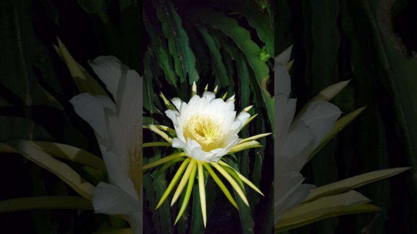 hình ảnh hoa thanh long đẹp nhất về đêm