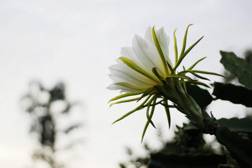 Hình ảnh hoa thanh long đẹp vào buổi sáng