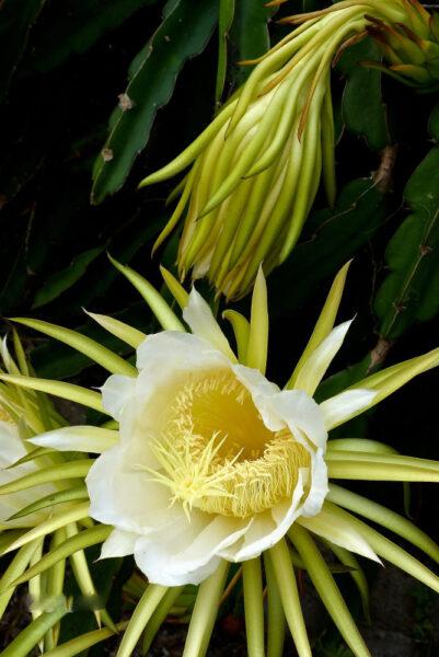 Hình ảnh hoa thanh long trắng
