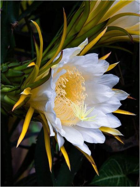 Hình ảnh hoa thanh long trắng đẹp