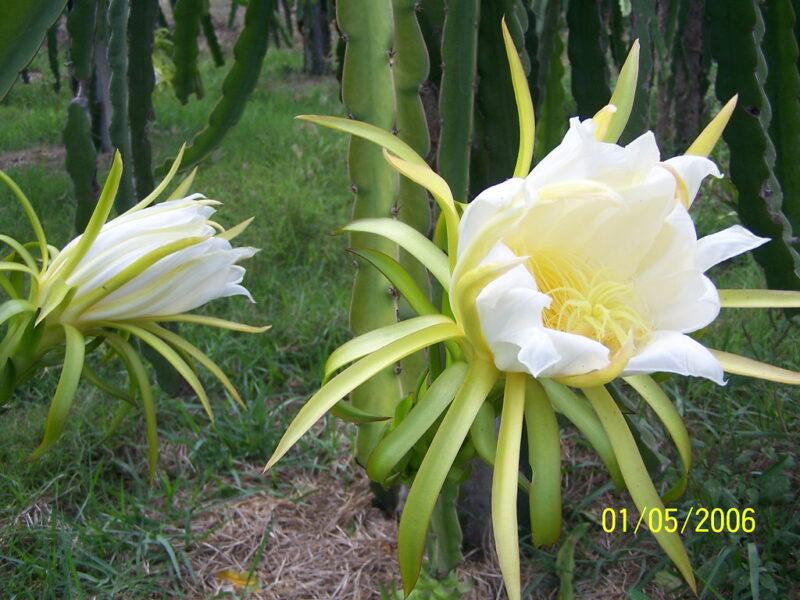 hình ảnh hoa thanh long trong vườn
