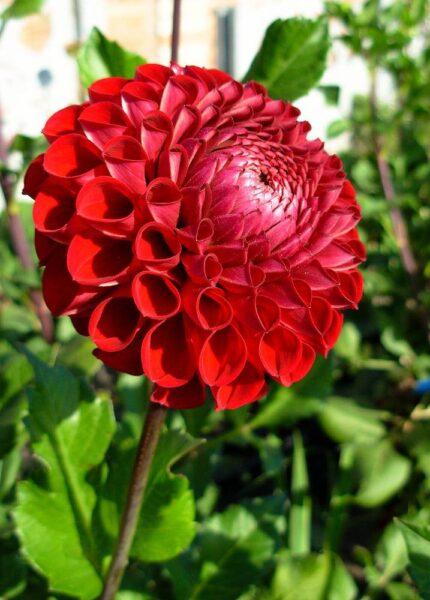 Hình ảnh hoa thược dược đỏ rực trong nắng