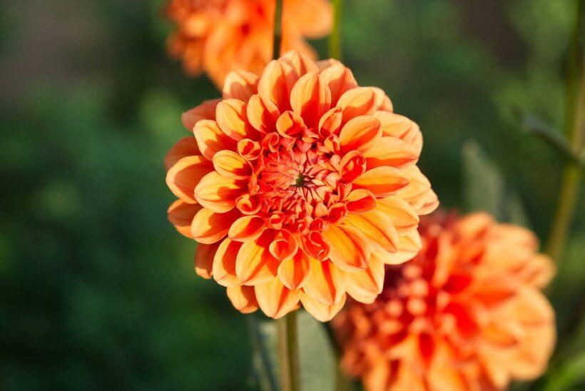 Hình ảnh hoa thược dược màu cam rực rỡ