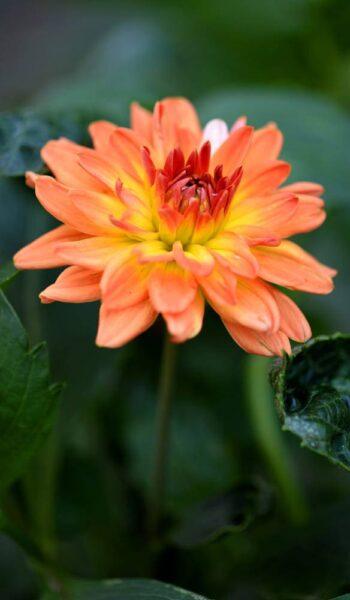 Hình ảnh hoa thược dược màu cam trên nền lá xanh