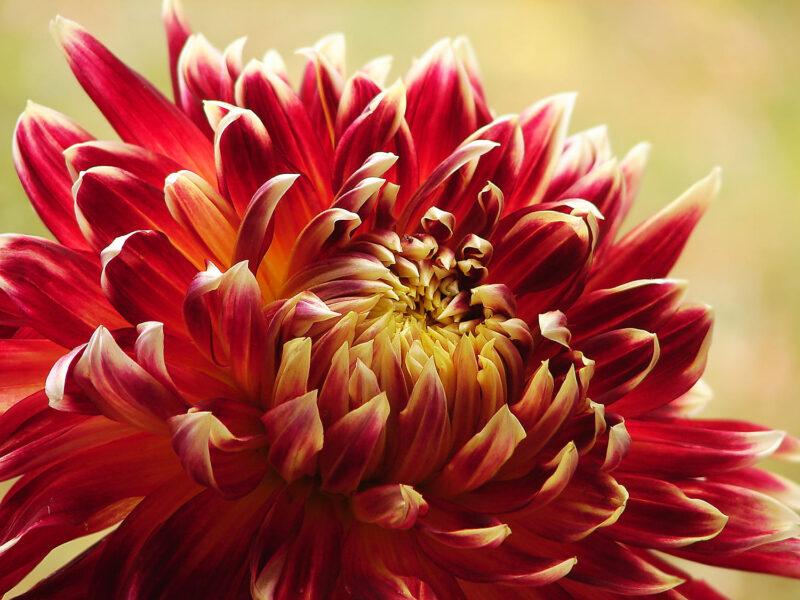 Hình ảnh hoa thược dược màu đỏ vàng