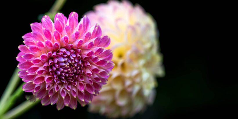Hình ảnh hoa thược dược màu hồng nhạt đẹp