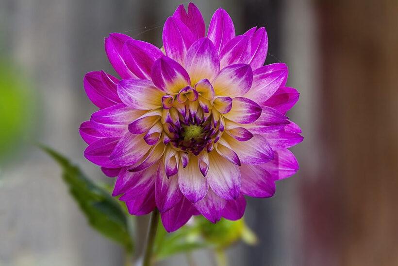 hình ảnh hoa thược dược màu hồng tím
