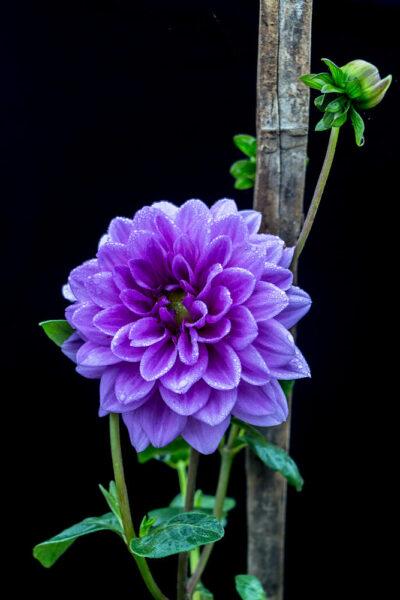 Hình ảnh hoa thược dược màu tím đẹp huyền bí