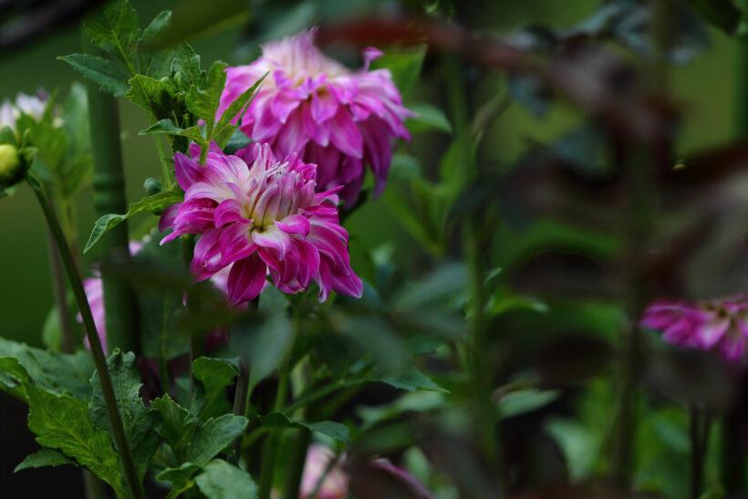 hình ảnh hoa thược dược màu tím đẹp nhất