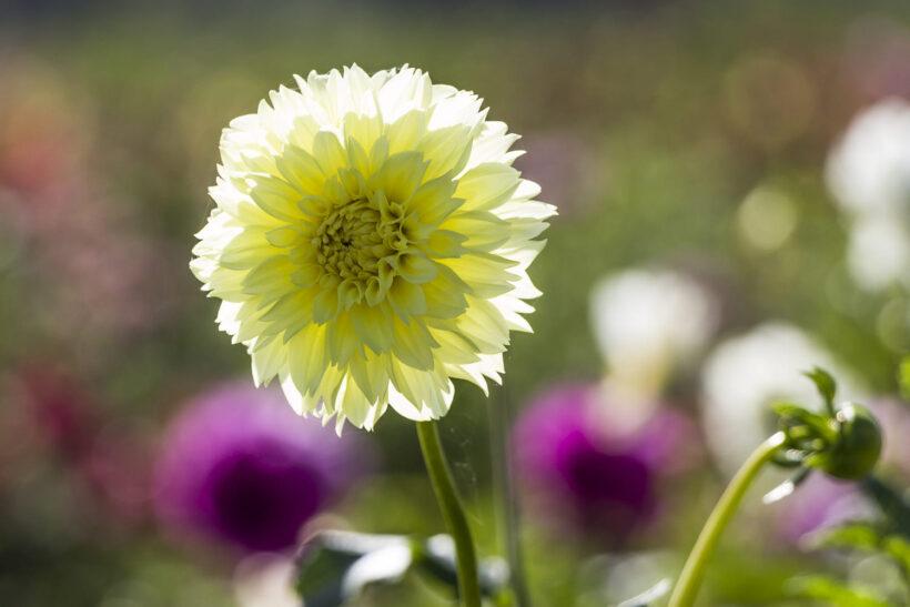 Hình ảnh hoa thược dược màu vàng
