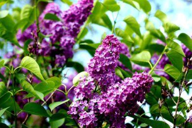 Hình ảnh hoa tử đinh hương tím đẹp dưới nắng