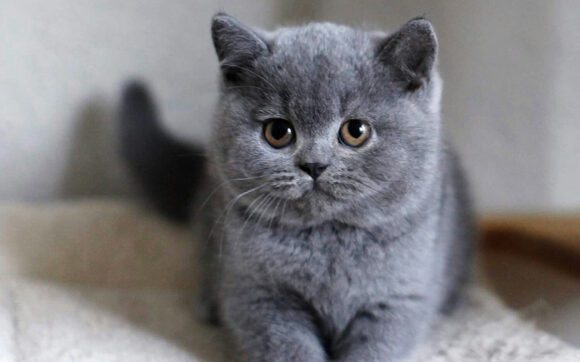 hình ảnh mèo anh lông ngắn màu xám
