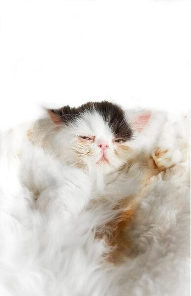 hình ảnh mèo Ba Tư con đang ngủ