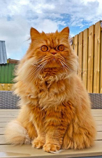 hình ảnh mèo Ba Tư lông vàng nâu dễ thương