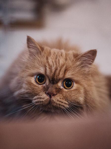 hình ảnh mèo Ba Tư siêu cấp đáng yêu