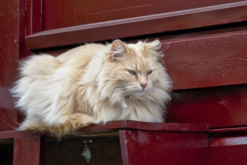 hình ảnh mèo Ba Tư với đôi mắt hung dữ