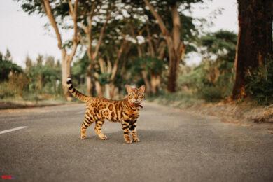 hình ảnh mèo bengal đẹp