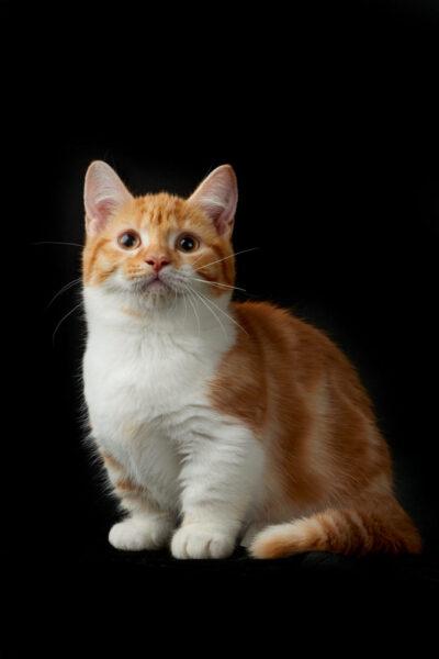 hình ảnh mèo Munchkin chụp toàn thân đẹp nhất