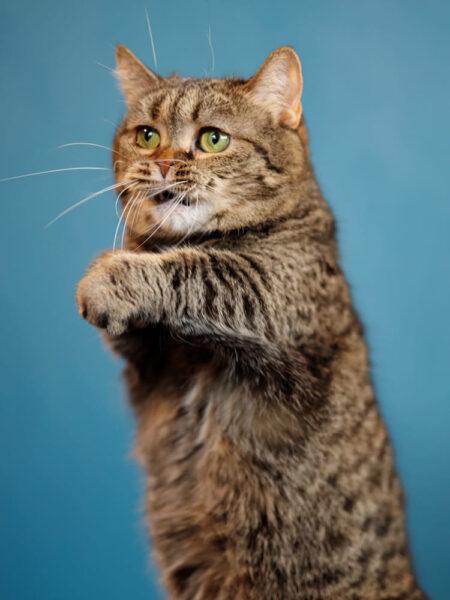 hình ảnh mèo Munchkin đang dơ tay bắt tay