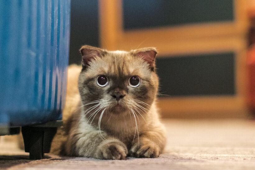 hình ảnh mèo Munchkin dễ thương nhất