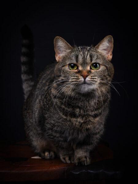 hình ảnh mèo Munchkin với đôi chân ngắn ngủn