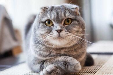 hình ảnh mèo tai cụp đẹp cute cá tính nằm vắt chéo chân