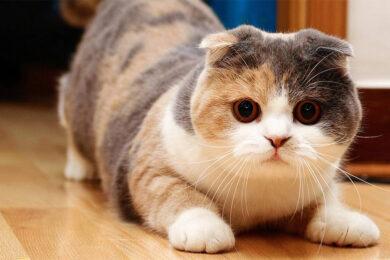 hình ảnh mèo tam thể