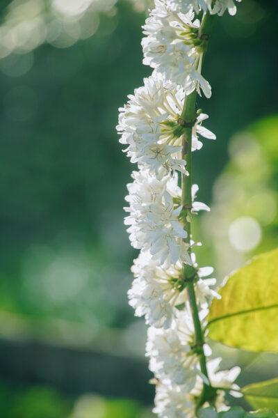 Hình ảnh một cành hoa cà phê trắng muốt