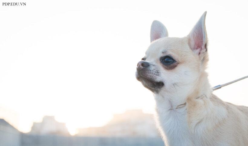hình ảnh nền chó chihuahua - giống chó nuôi nhỏ nhất thế giới