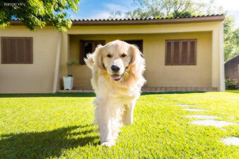 hình ảnh nền chó Golden dễ thương nhất