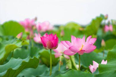 Hình ảnh nền đầm hoa sen