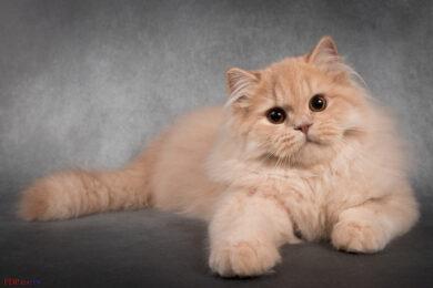 hình ảnh nền mèo anh lông dài siêu cute, đáng yêu