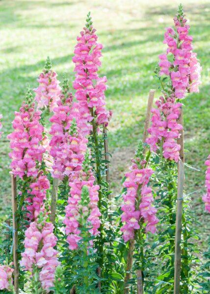 Hình ảnh những cây hoa mõm chó màu hồng