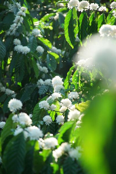 Hình ảnh những chùm hoa cà phê đua nhau khoe sắc