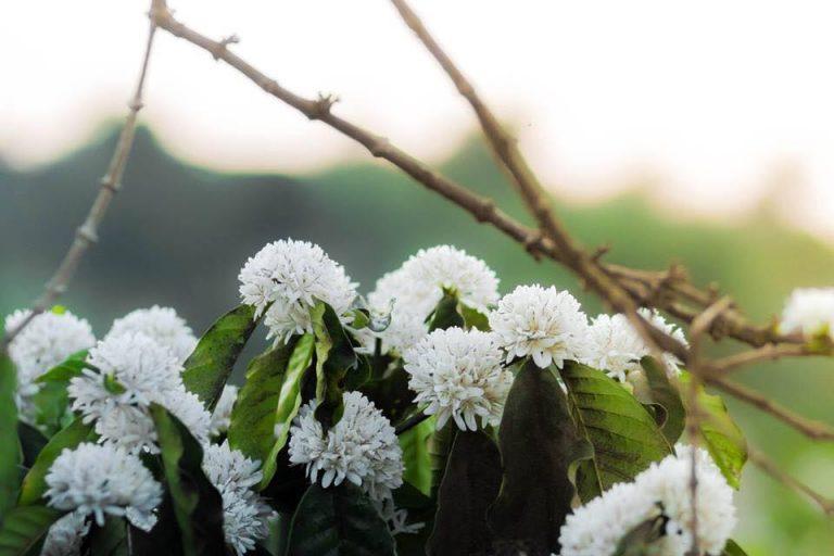 Hình ảnh những chùm hoa cà phê