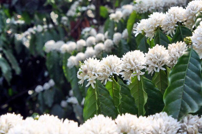 Hình ảnh những hoa cà phê trắng muốt