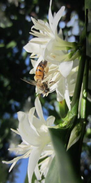 Hình ảnh ong đang hút mật hoa cà phê