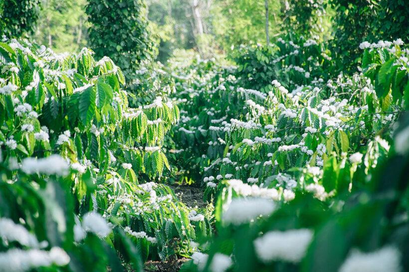 Hình ảnh vườn hoa cà phê đẹp nao nức lòng người