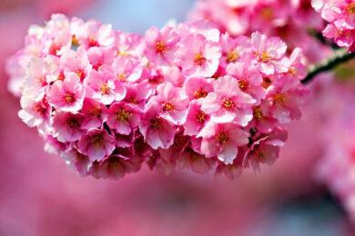 hình ảnh ý nghĩa hoa anh đào đẹp