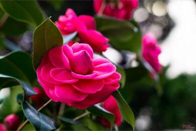 Hình ảnh, ý nghĩa hoa hải đường (2)